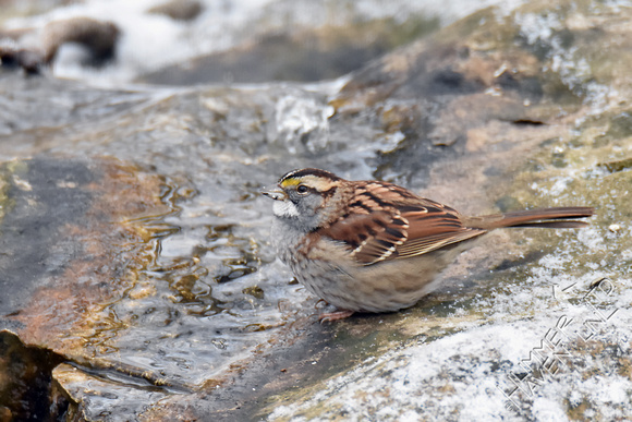 White-throated Sparrow 1-5-17