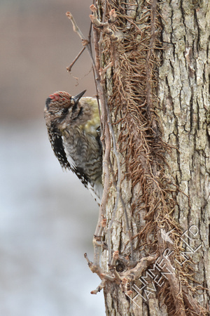 Yellow-bellied Sapsucker female 1-7-17