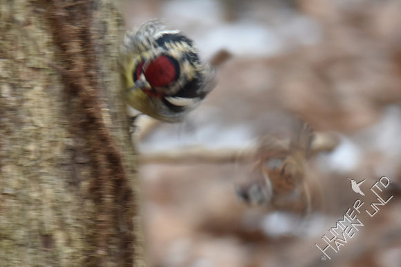 Yellow-bellied Sapsucker chasing Eurasian Tree Sparrow 1-8-17