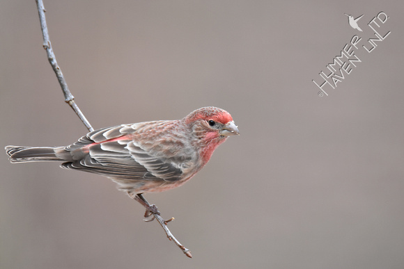 House Finch 1-9-17