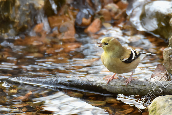 American Goldfinch 1-9-17