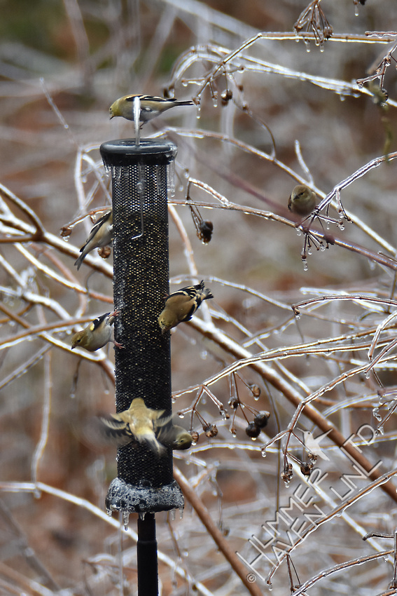 American Goldfinches 1-14-17