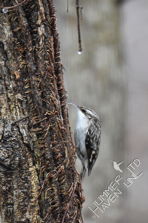 Brown Creeper 1-15-17