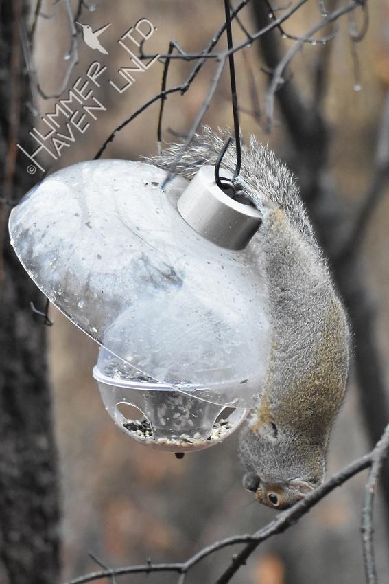 Eastern Gray Squirrel on feeder 1-15-17