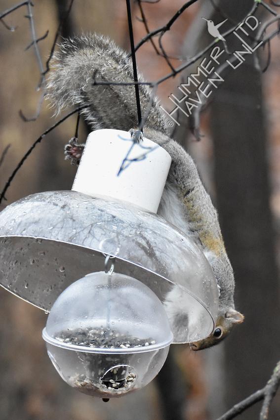 Eastern Gray Squirrel on feeder 1-16-17