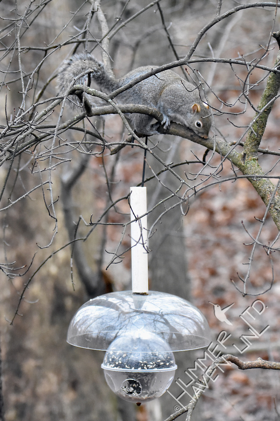 Eastern Gray Squirrel not on  feeder 1-17-17