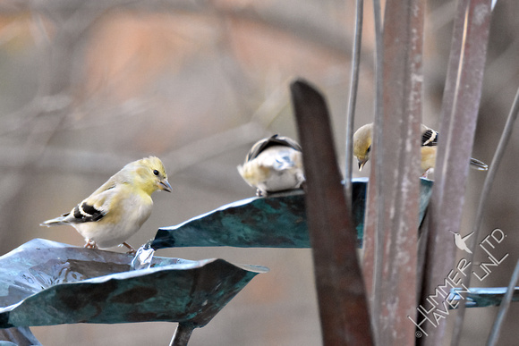 American Goldfinches 1-28-17