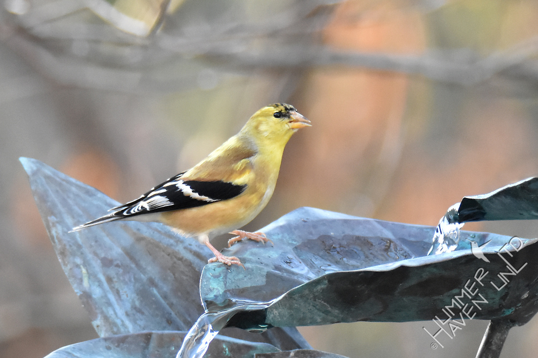 American Goldfinch male plumage changing  1-28-17