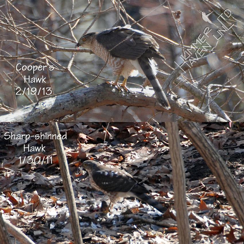 Cooper's and Sharp-shinned Hawks 1-30-11
