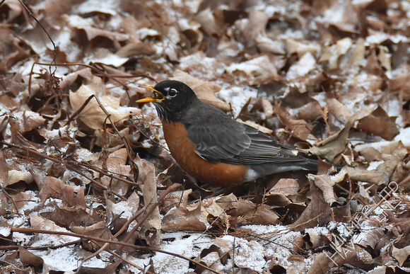 American Robin with spider 2-8-17