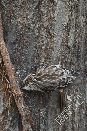Brown Creeper foraging 2-19-17