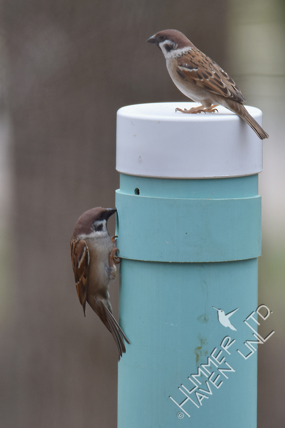 Eurasian Tree Sparrows look at  the nest box 2-28-17
