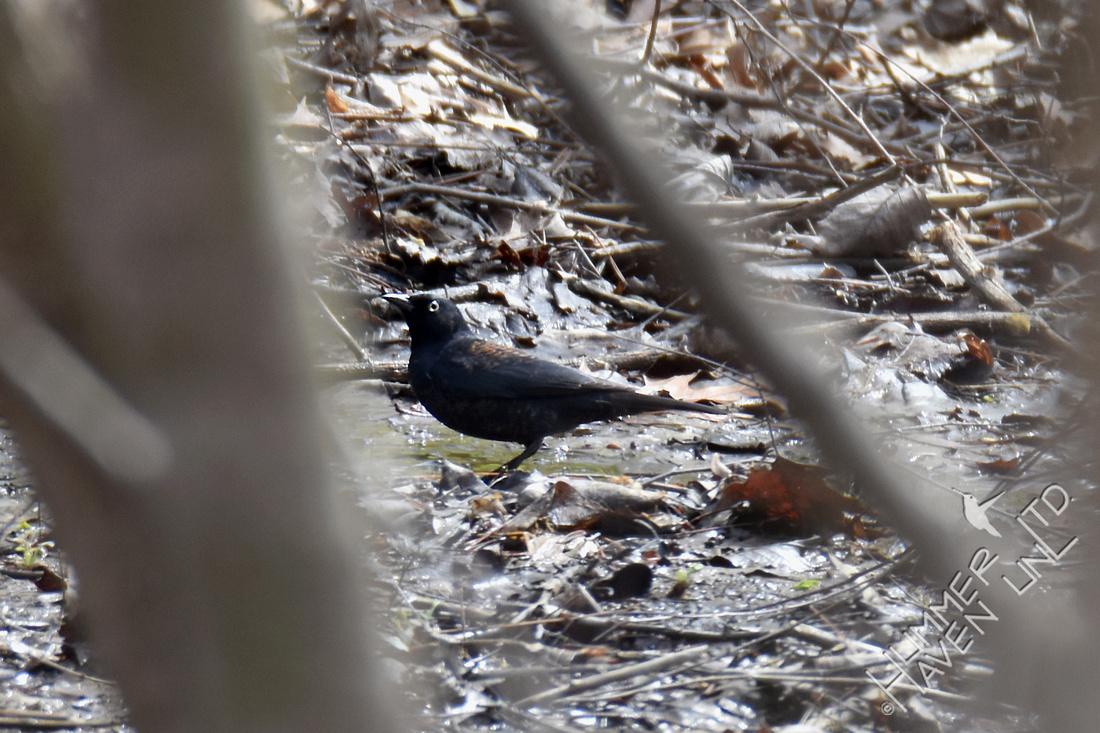 Rusty Blackbird 3-21-17