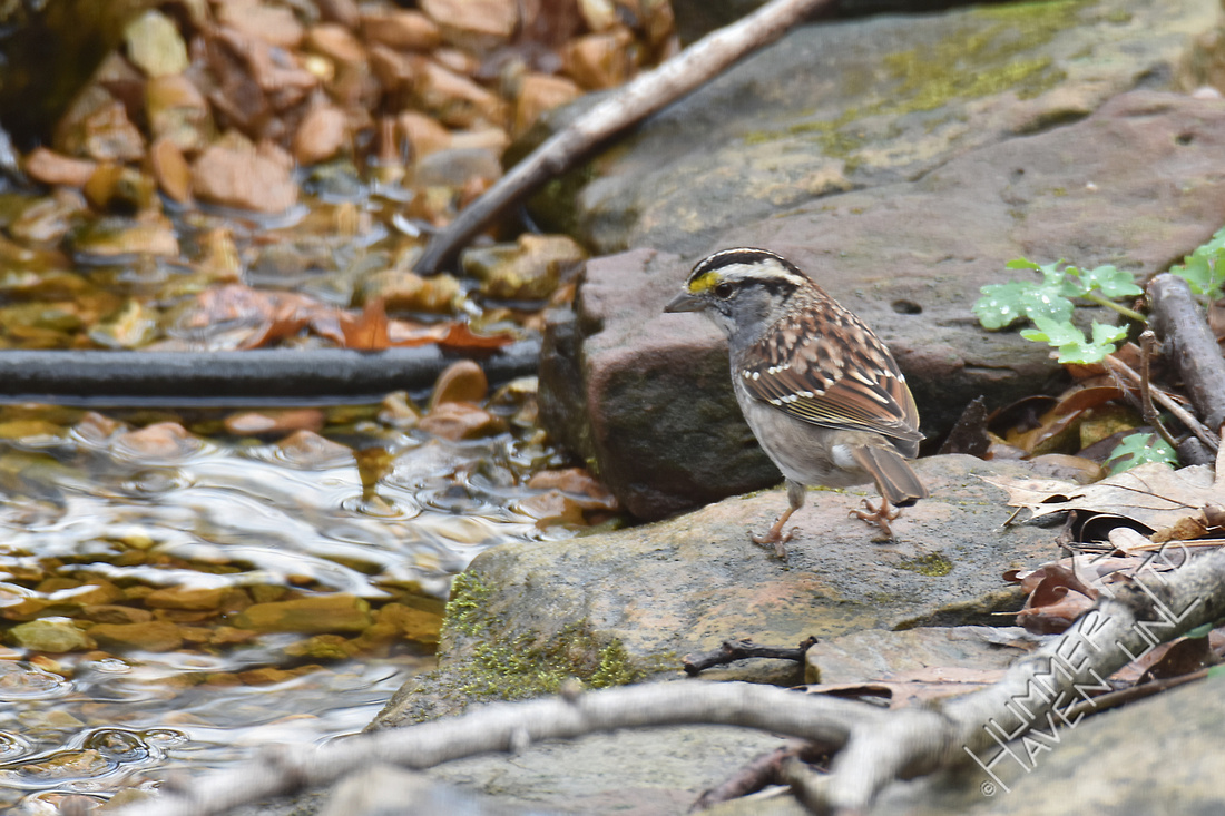 White-throated Sparrow 3-25-17