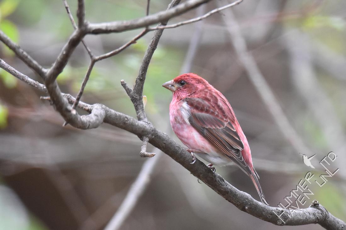Purple Finch 4-5-17