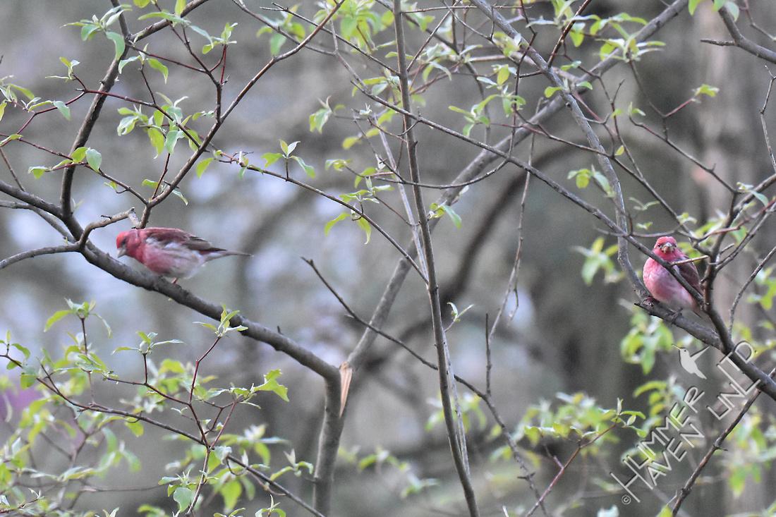 Purple Finches 4-6-17