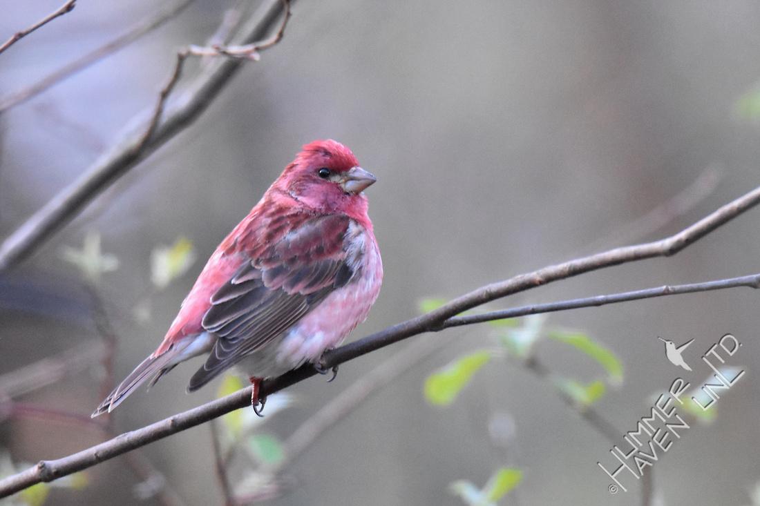 Purple Finch #2 4-6-17