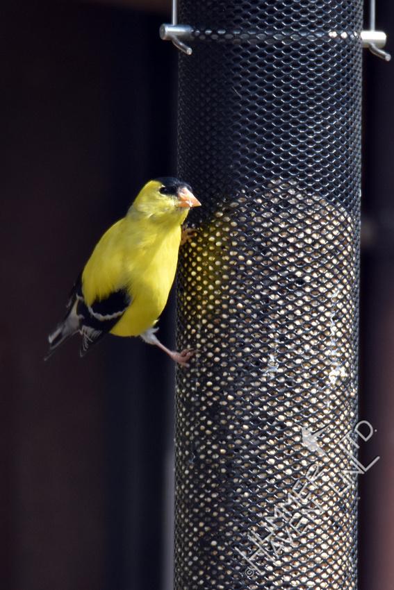 American Goldfinch in full breeding plumage 4-6-17