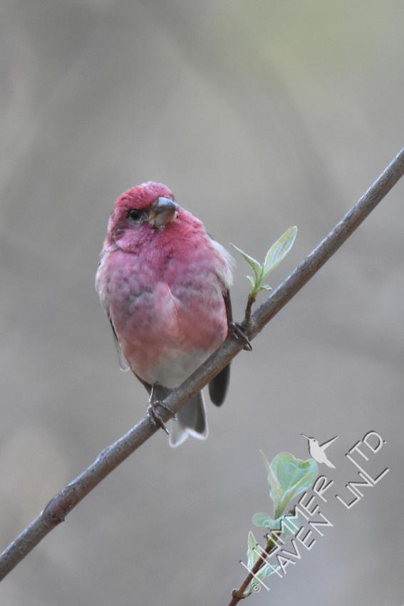 Purple Finch 4-7-17
