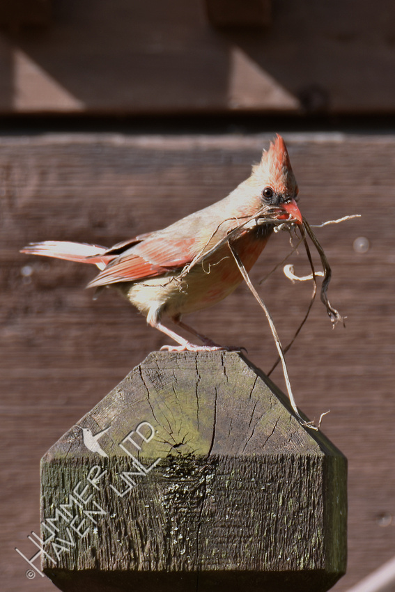 Northern Cardinal female with nest material 4-9-17