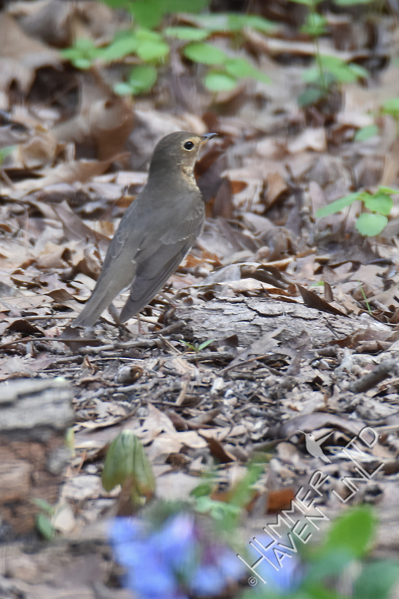 Swainson's Thrush 4-10-17 Documentation submitted-earliest date record in MO is 4-14-1983