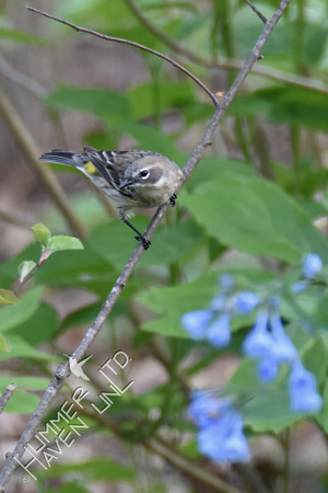 Yellow-rumped Warbler female 4-15-17