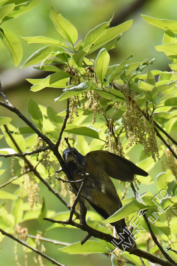 Blue Grosbeak 1st yr male 4-19-17 Documentation early date