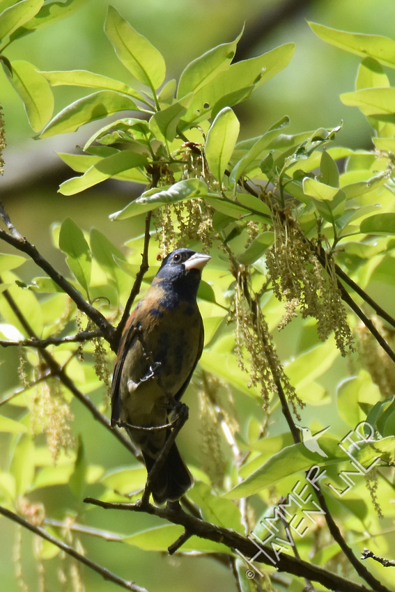 Blue Grosbeak 1st yr male 4-19-17