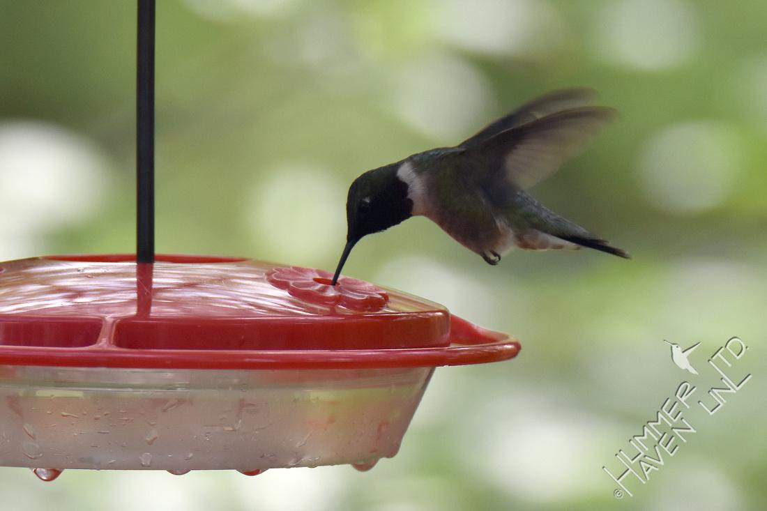 Ruby-throated Hummingbird 4-20-17