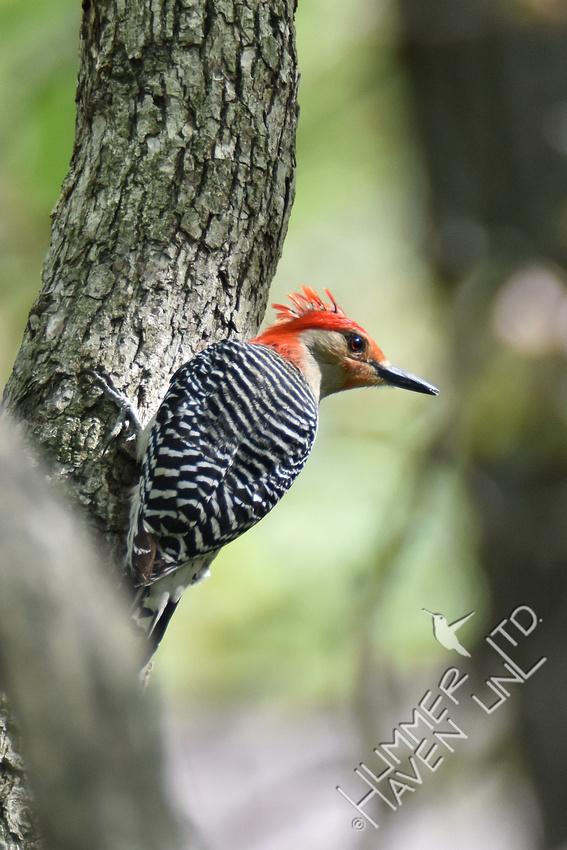 Red-bellied Woodpecker 4-20-17