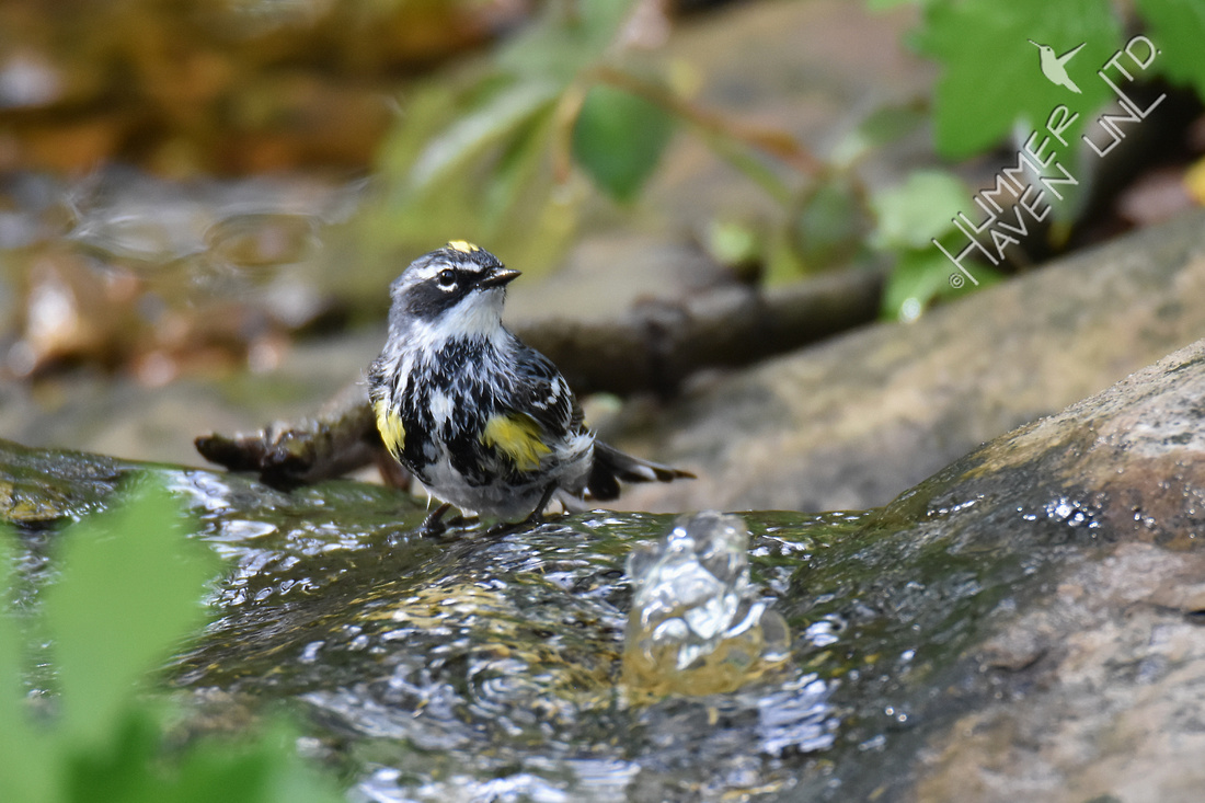 Yellow-rumped Warbler 4-19-17