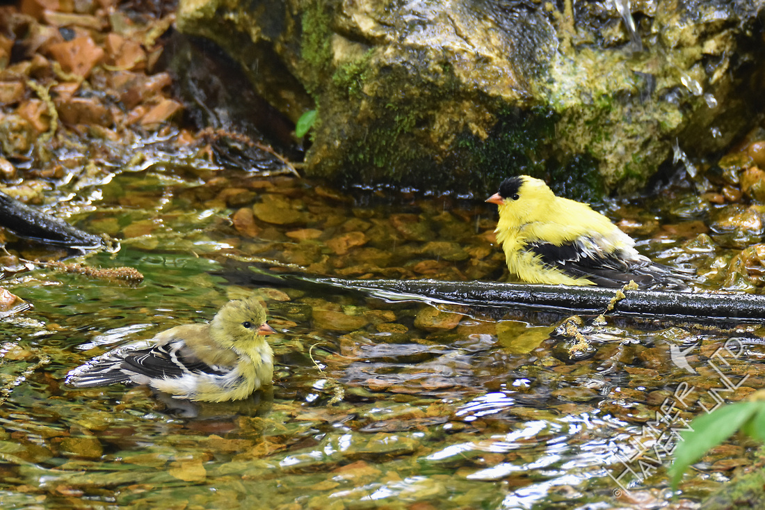 American Goldfinches 4-25-17