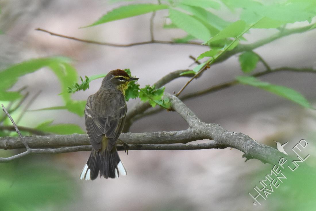 Palm Warbler 4-26-17