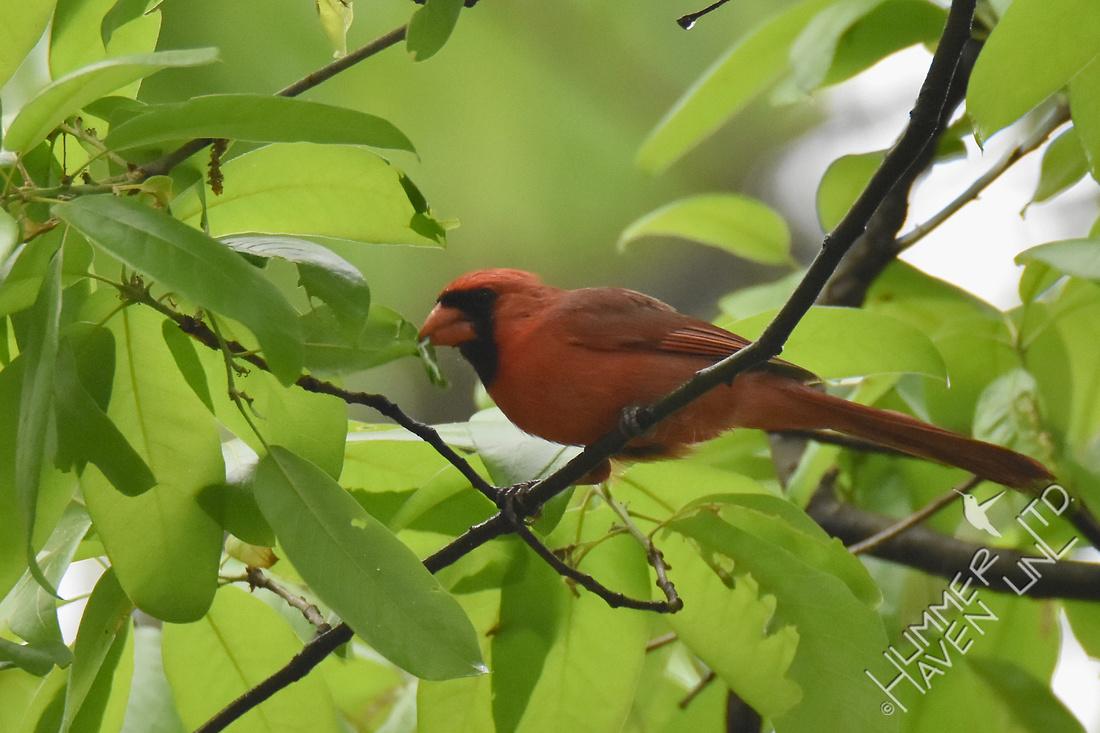Northern Cardinal finding caterpillar in Shingle Oak leaf (Quercus imbricaria) 4-29-17