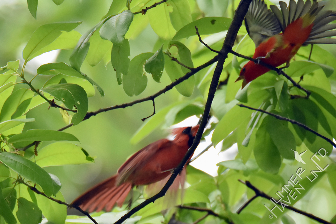 Northern Cardinal and Scarlet Tanager 4-29-17