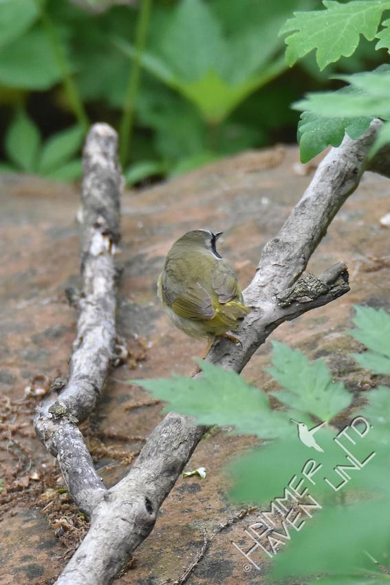 Common Yellowthroat 5-1-17