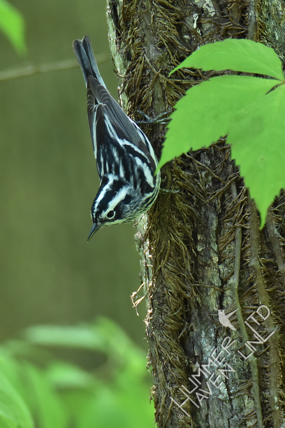 Black and White Warbler 5-2-17