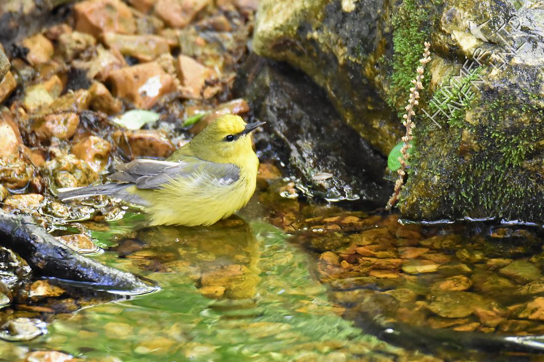 Blue-winged Warbler 5-2-17