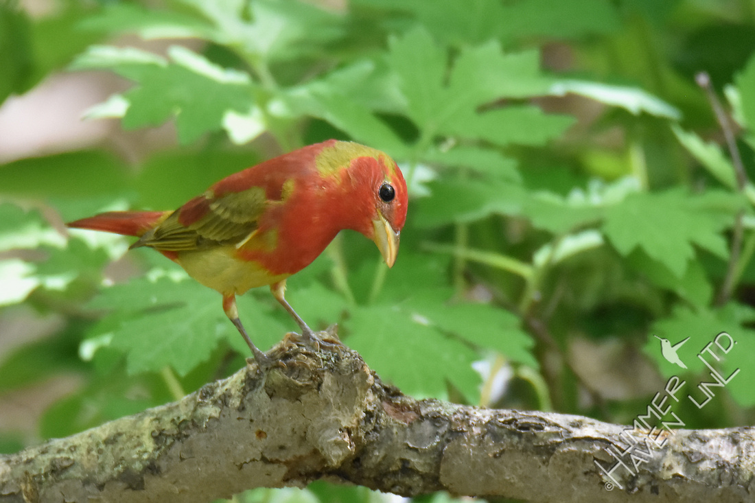 Summer Tanager 1st year male 5-2-17