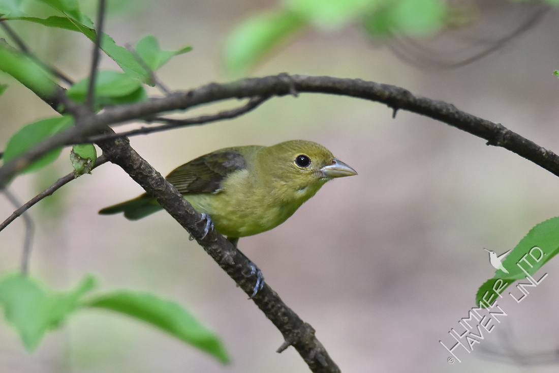 Scarlet Tanager female 5-8-17