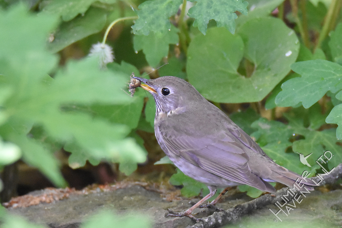 Gray-cheeked Thrush with cricket 5-9-17