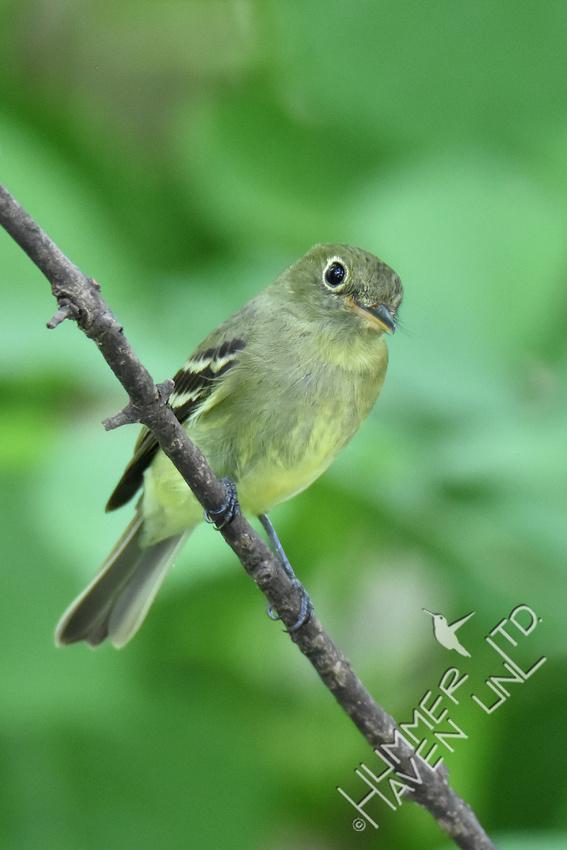 Yellow-bellied Flycatcher 5-10-17