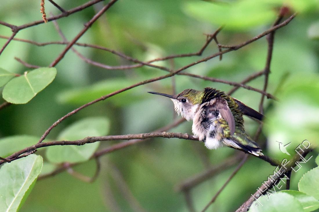 Ruby-throated Hummingbird female 5-12-17