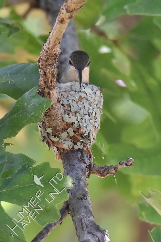 6-7-17 Ruby-throated Hummingbird nest in Bur Oak (Quercus macrocarpa)