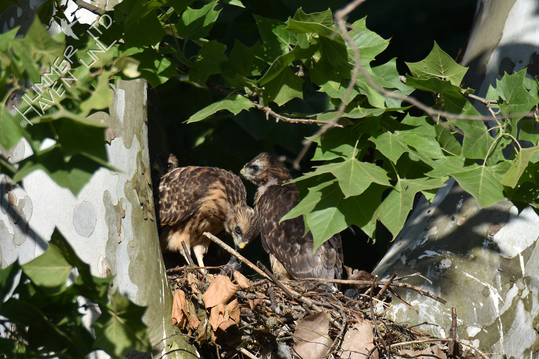 6-9-17 Red-shouldered Hawk juvenile tries to eat  shrew