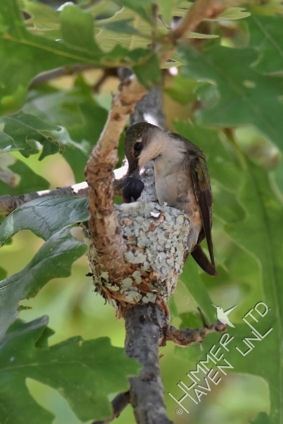 6-13-17 Ruby-throated Hummingbird feeds chicks