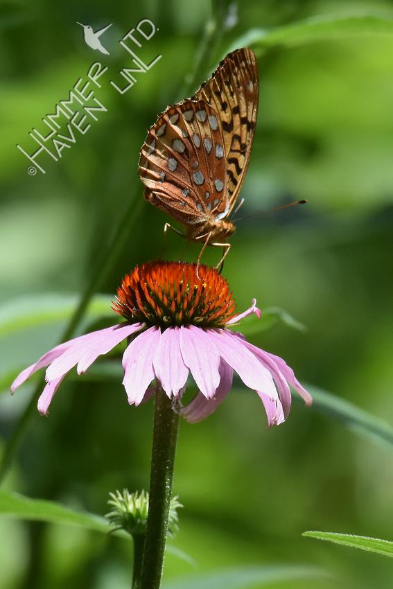 Great Spangled Fritillary 6-15-17