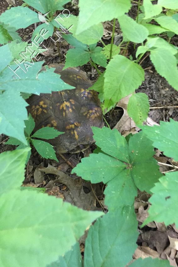 Three-toed Box Turtle, female 6-12-17
