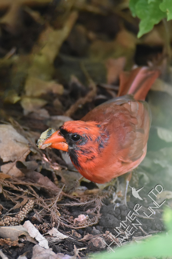 Northern Cardinal with annual cicada for nestlings 6-26-17