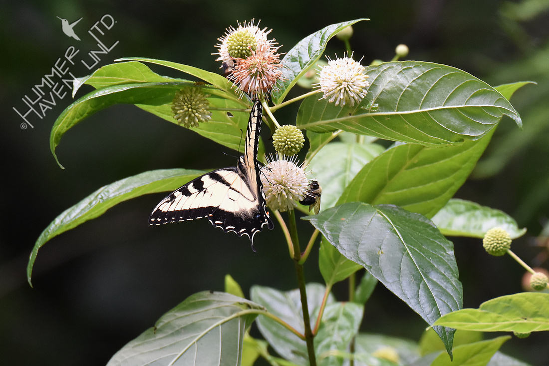 Eastern Tiger Swallowtail and bumblebees on Buttonbush (Cephalanthus occidentalis) 6-29-17